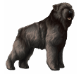 Bouvier des Flandres adulte - robe 1209