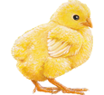 Coq Leghorn bébé - robe 7