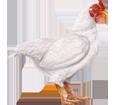 Coq Leghorn ##STADE## - robe 7