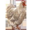 Coq Leghorn adulte - robe 7