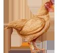 Coq Orpington ##STADE## - robe 17