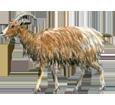 Chèvre ##STADE## - robe 7