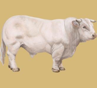 Recueillir un animal de la ferme d'espèce taureau charolais