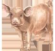 Porc ##STADE## - robe 68
