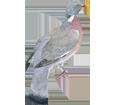 Pigeon ramier ##STADE## - robe 57