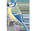 Mésange bleue Adulte - robe 1