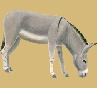 Recueillir un animal de la ferme d'espèce Âne gris