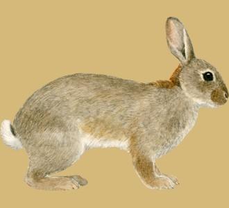 Recueillir un animal de la ferme d'espèce lapin de garenne