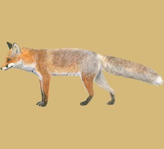 Recueillir un animal de la ferme d'espèce renard
